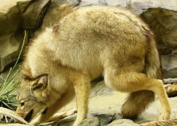 cayote hiding on rocks