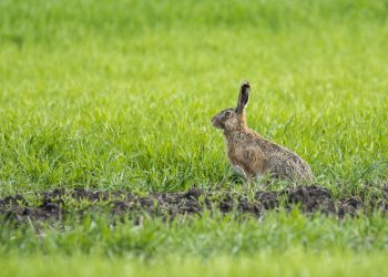 small rabbit looking out at green pasture