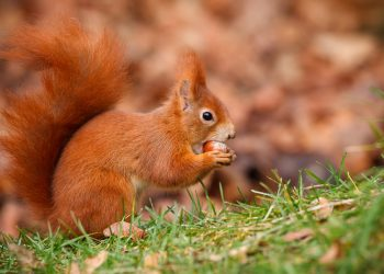 squirrel eating a nut while standing on grass