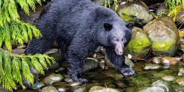 black bear in a creek