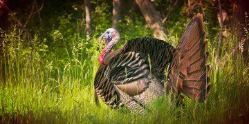 turkey outside in the bush